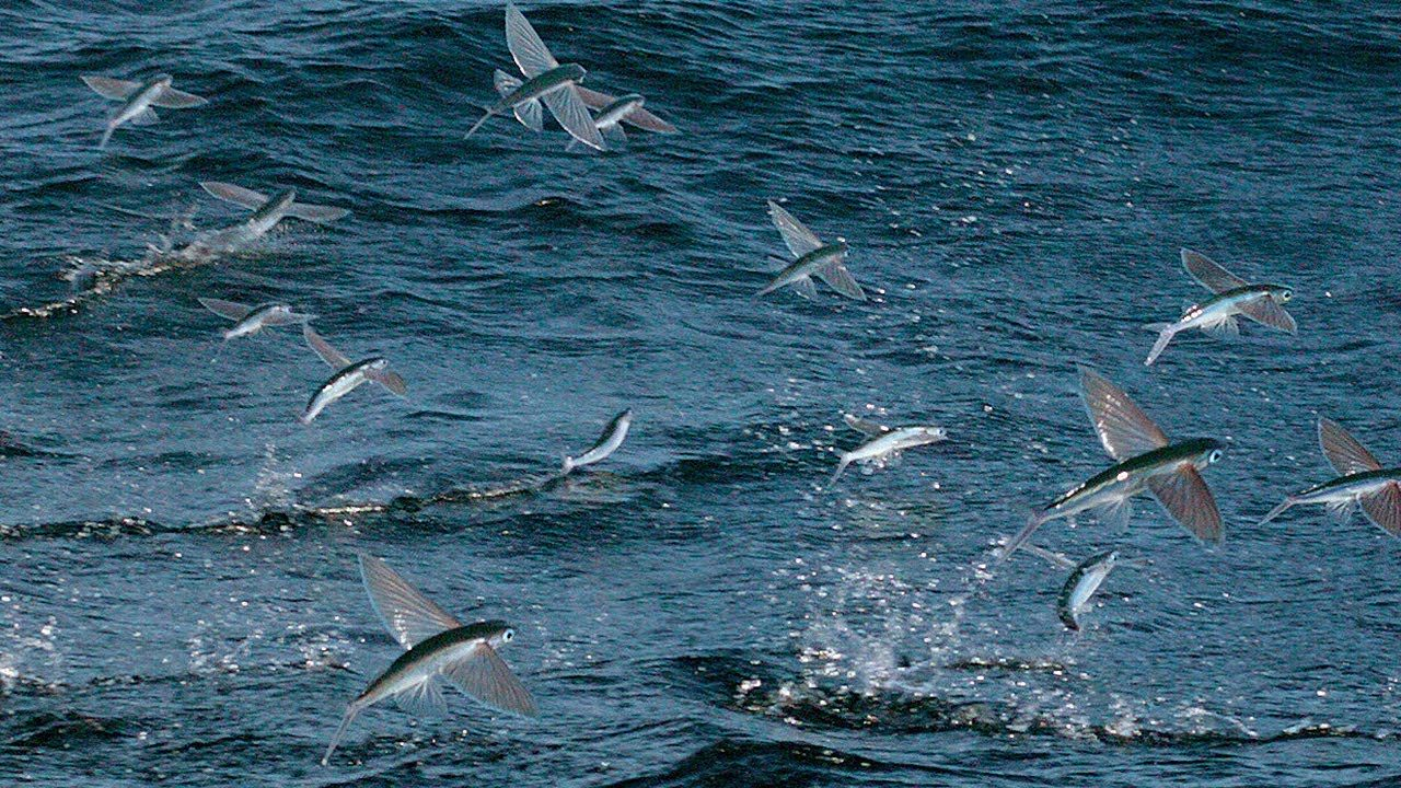 4. Flying Fish