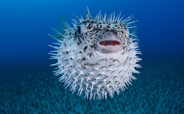 5. Pufferfish