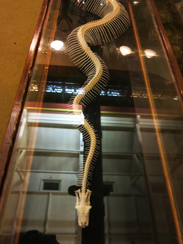 3. Boa Constrictor skeleton